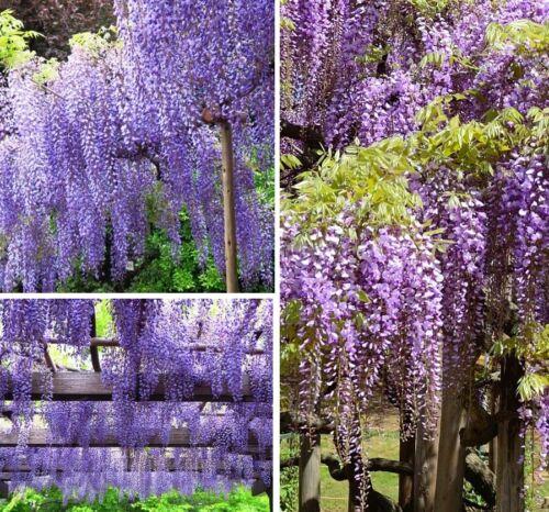 Set Stecklinge Blauregen winterharte Pflanzen Blumen für den Garten Deko Exoten