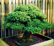 50 SEMI DI GIAPPONESE BIANCO ABETE PINO, Pinus parviflora cioccolato al BONSAI ALBERO