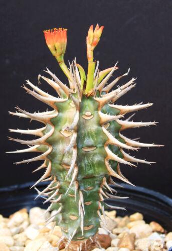 Euphorbia Viguieri v CAPURONIANA exotic flower madagascar palm rare seed 5 seeds