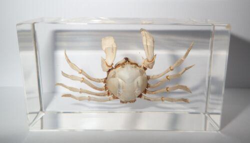 White Spider Crab Uca lacteus in 73x40x24 mm Clear Block Education Specimen