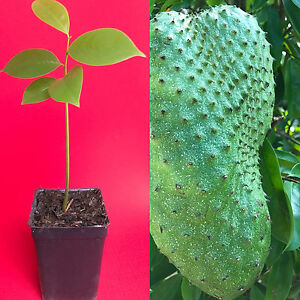 Annona-Muricata-Graviola-Soursop-Guanabana-Potted-Starter-PLANT-Tropical-Tree