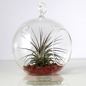 Details About Air Plant Kit In Hanging Glass Terrarium With Red Coloured Crushed Glass