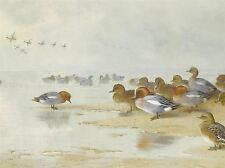 PAINTING BIRDS DUCKS THORBURN WIGEON TEAL BEACH ART POSTER PRINT LV2345