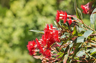 Di Larghe Vedute Sementi Piante Esotiche Da Giardino Sementi Balcone Terrazzo Eucalipto Rosso-