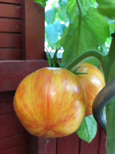 Beauty King gelb-rot-orange geflammte Tomate absolute Liebhabersorte aus den USA