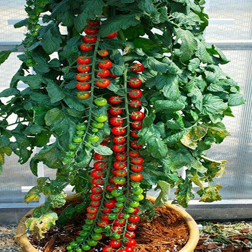 Tomato Sweet Cherry Rapunzel 20 Seeds My Organic Garden World Sweetest Tomato