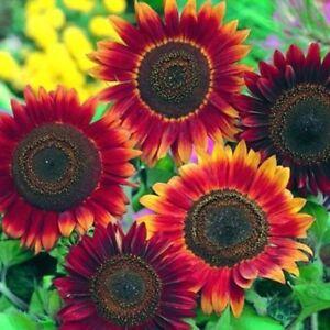 100Stk-Duftende-Rote-Sonnen-Blumen-Samen-Winterharte-Bluehende-Staude-Sonnenblume