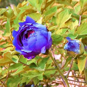 10pcs chinesische blau sapphire samen pfingstrose pflanzen garten ... - Garten Blumen Blau