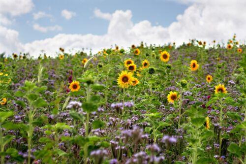 BIENENWEIDE 5 kg BUNTE Bienenwiese TOP Blühstreifen Saatgut Bienen GREENING §31