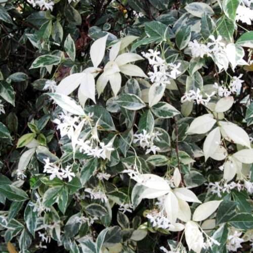 Trachelospermum jasminoides Variegata Jasmin Blütenduft winterhart JV14326