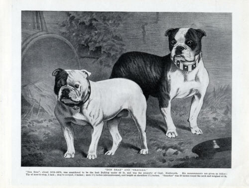 ENGLISH BULLDOG TWO OLD STYLE DOGS ORIGINAL DOG PRINT PAGE FROM 1934