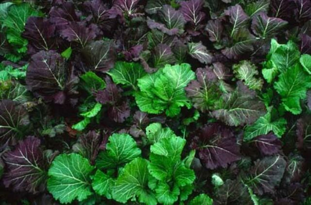 GREEN AND PURPLE MUSTARD GREEN SEEDS GIANT MIIKE MUSTARD HEIRLOOM VEG 100 SEEDS