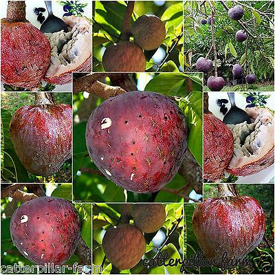 15 Seeds Red Custard Apple Tree AKA bullock's Heart,Jamaican Apple Fruit Seeds