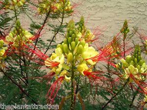 Caesalpinia Gilliesii Dwarf Shrub Tree Yellow Bird Of Paradise 10