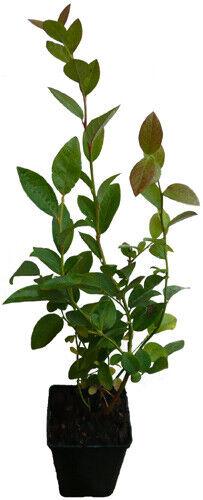 Barcola-Bluecrop-pianta mirtillo solitamente coltivate piantagioni varietà