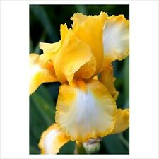 20+ BI-COLOR YELLOW BEARDED IRIS / PERENNIAL / GERMANIC IRIS FLOWER SEEDS