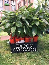 Bacon Avocado Tree, Grafted - VERY COLD HARDY - Grafted Live Avocado Tree