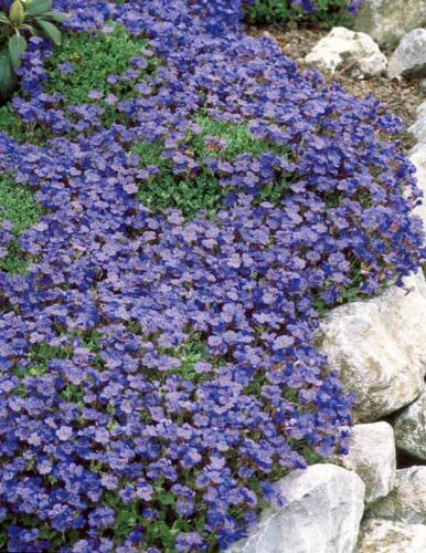 "200 graines-Hardy vivace Rocaille /""Cascade Bleu /'Rock Cresson"