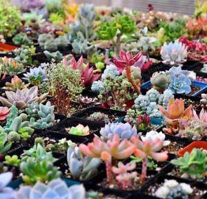 300-bag-Mix-Succulent-Bonsai-Lotus-Lithops-Pseudotruncatella-Bonsai-seeds-Plants