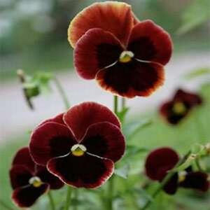 Pansy Seeds Swiss Giant Flame Viola 50 Seeds