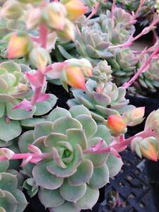 ECHEVERIA-GRUSONII-SPECIAL-OFFER-15-Cuttings-for-15-Garden-Plant