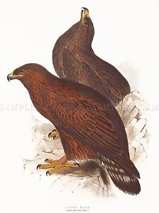 PAINTING-BIRDS-GOULD-LEAR-GOLDEN-EAGLE-PAIR-ART-PRINT-POSTER-LAH541A
