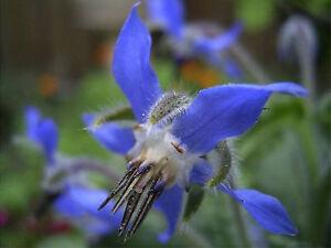 25-Graines-BIO-de-bourrache-officinale-bleue-borago-officinalis-biologique