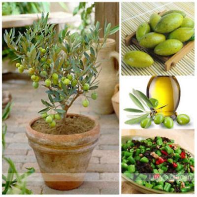 Olea Europaea 10 Pcs Olive Seeds Bonsai Tree Seeds Exotic Canarium Album Seed