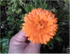 Blumen-Calendula-Officinalis-Ringelblume-150-Samen-Wirtschaft