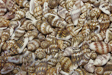 Nassa Sea Shells, Mini Craft Seashells, Natural Shells