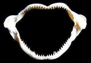 Machoire-de-Requin-11-a-13cm-coquillage-deco-cadeau-collection-Mer-Taxidermie