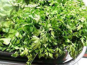 Graines semences PERSIL Commun  vert foncé seeds