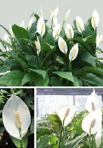 Spathiphyllum-Einblatt-Scheidenblatt-Lilie-Zimmerpflanze-Zimmerpalme-Bueropflanze