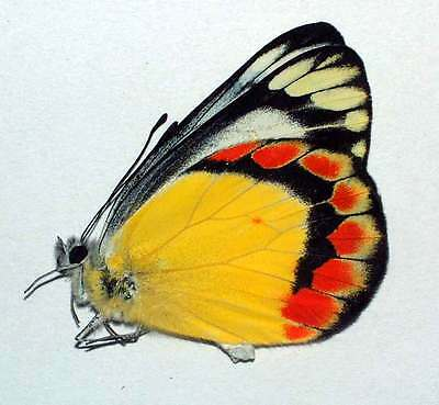 * RARE unmounted butterfly pieridae Delias acalis acalis yunnan CHINA A1