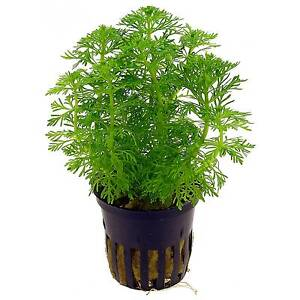 6 x 5 cm Pots of Limnophila sessiliflora Ambulia - <span itemprop=availableAtOrFrom>Glasgow, United Kingdom</span> - Returns accepted Most purchases from business sellers are protected by the Consumer Contract Regulations 2013 which give you the right to cancel the purchase within 14 days after the day  - Glasgow, United Kingdom