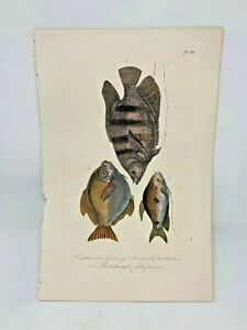 Original Antique Hand Colored Fish Print Lacepede1840 Beautiful Plate #60 Cuvier