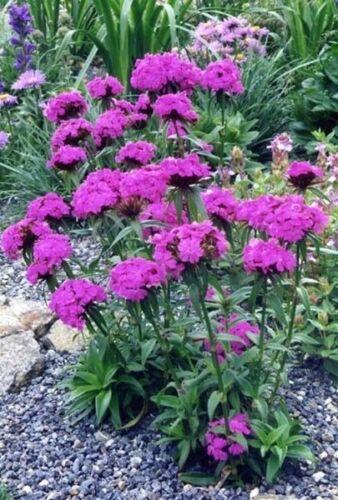 Dianthus barbatus Sweet William 200 Fresh Seeds