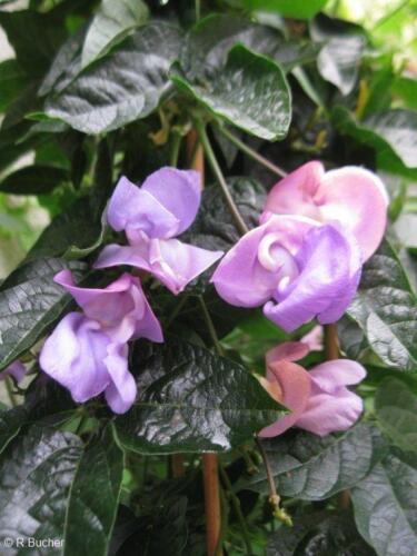 diese ungewöhnliche Zierpflanze wird Ihren Garten aufwerten die Schneckenbohne.