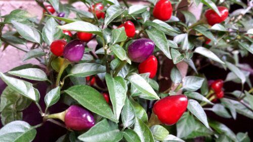 5 seeds Filius Blue Chili COLOURFUL and ELEGANT!