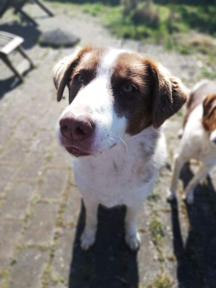 Labrador/Sct Bernhard mix, hund, 4 år