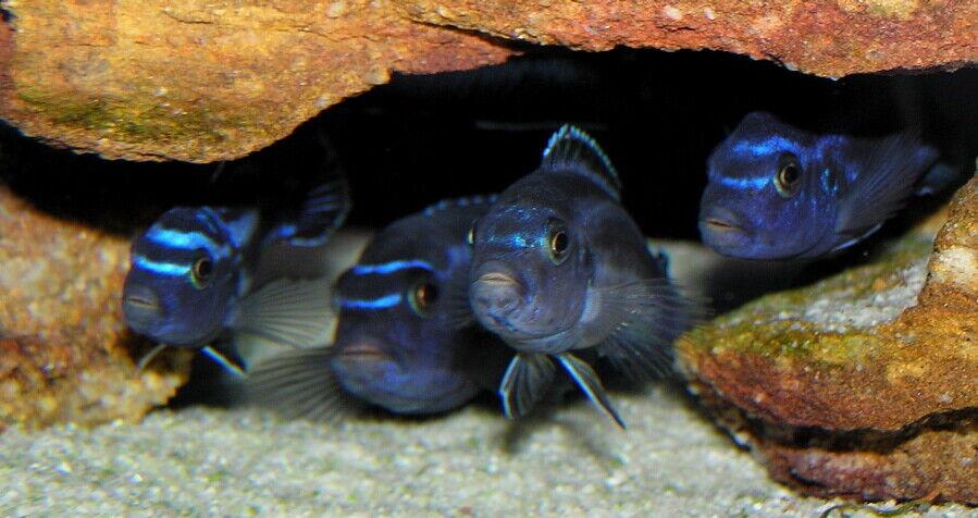 6 (sei) x pseudotropheus cyaneorhabdos-maingano (dei ciclidi del lago Malawi)