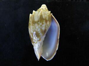 Sea-Shell-Cymbiola-vespertilio-Uncommon-color-65-8mm-ID-4470