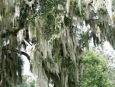 Live Spanish Moss Tillandsia usneoides 1 Gallon Bags