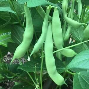 Green Bean Seed: Roma II Green Beans Fresh Seed FREE Shipping