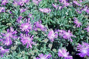 Delosperma-floribundum-PURPLE-ICE-PLANT-Hardy-Exotic-SEEDS