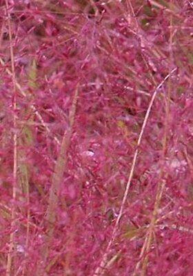 50 Samen Purpur-Liebesgras (Eragrostis spectabilis), Ziergras, rot, winterhart