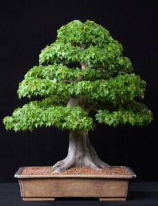 árbol De Arce Trident Ideal Bonsai Al Aire Libre Como Arce Japonés