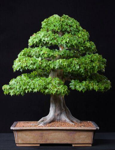 IDEALE per esterni BONSAI Trident Maple Tree come Acero Giapponese ACER BUERGERIANUM