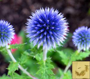 Blue Globe Thistle 70 Seeds Echinops Ritro Perennial Flower