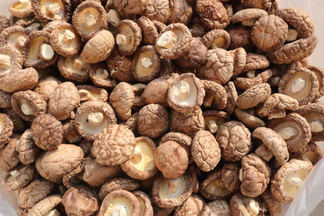 Wholesale shiitake spawn
